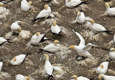 Muriwai Gannet Colony in Auckland Stock Images