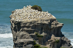 Free Muriwai Gannet Colony - New Zealand Royalty Free Stock Images - 48569589