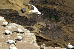 Muriwai gannet colony - New Zealand Royalty Free Stock Photos