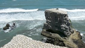 Muriwai gannet colony - New Zealand stock video