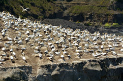 Muriwai gannet colony - New Zealand Royalty Free Stock Image