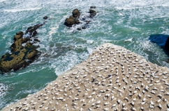 Muriwai Gannet Colony which is located at Muriwai Regional Park,New Zealand. stock photography