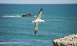 Muriwai Gannet Flight Royalty Free Stock Image