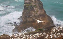 Muriwai Gannet kolonia Zdjęcia Royalty Free