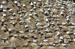 Muriwai gannet kolonia - Nowa Zelandia Zdjęcie Stock