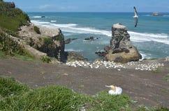 Muriwai gannet kolonia - Nowa Zelandia Zdjęcie Royalty Free