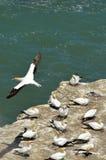 Muriwai gannet kolonia - Nowa Zelandia Obraz Royalty Free
