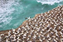 Muriwai havssulakoloni Royaltyfri Fotografi