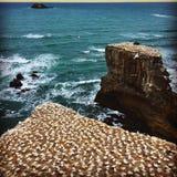 Muriwai strand nya Zealans Berds Arkivbilder