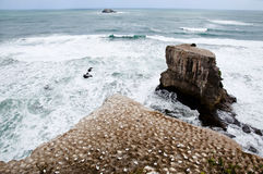 Muriwai wybrzeże Auckland, Nowa Zelandia - Fotografia Royalty Free