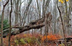 murken fallen tree Fotografering för Bildbyråer