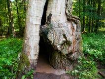 Murken jätte- ek i den urtids- skogen, Bialowieza, Polen Royaltyfri Foto