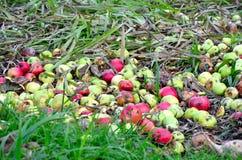 Murkna äpplen Arkivbilder