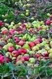 Murkna äpplen Royaltyfri Bild