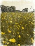 murkna fält för buttercup Arkivfoton