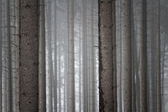 Murky forest background. View into a murky but mystic spruce forest. German nature in winter Stock Images