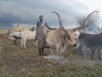 Murle cattle keeper with bull in Boma State, South Sudan. A bull with twisted horns shaped by its owner stock photo