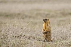 Murmeldjur, eller vanlig groundhog (för stäpp) på hans stolpe Fotografering för Bildbyråer