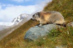 Murmeldjur i berg Fotografering för Bildbyråer