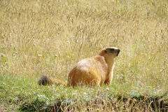 Murmeldjur i bergen på grönt gräs Arkivbilder