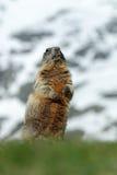 Murmeldjur i berget Gulligt sitt upp på dess bakre ben den djura murmeldjuret, Marmotamarmotaen som in sitter honom, gräs, i natu Arkivfoton