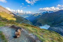 Murmeldjur i de österrikiska fjällängarna Royaltyfria Foton