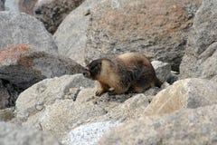 Murmeldjur i den Yosemite nationalparken Arkivfoton