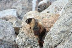 Murmeldjur i den Yosemite nationalparken Fotografering för Bildbyråer