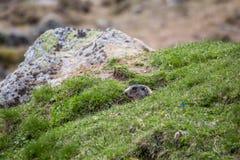 Murmeldjur i ett hål som ser kontrollera området, europeiska fjällängar Royaltyfri Bild