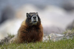 Murmeldjur i gräset Arkivbilder