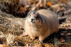 Murmeldjur i zoo Fotografering för Bildbyråer