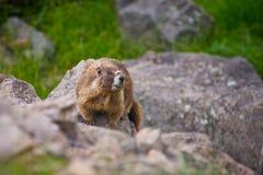 Murmeldjur på stenblocket Arkivfoto