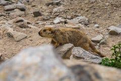 Murmeldjur runt om området nära Tso Moriri sjön i Ladakh, Indien Murmeldjur är stora ekorrar som är levande under jordningen Royaltyfri Foto