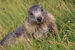 Murmeldjur som äter gräs Arkivfoton