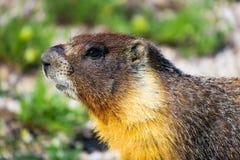 Murmeldjur som söker efter föda i Yosemite Arkivfoto