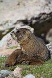 Murmeldjur som vilar på tundran Arkivfoton