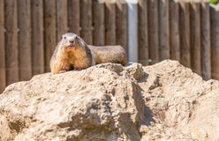 Murmeldjuret på stycke av vaggar i zoo Fotografering för Bildbyråer