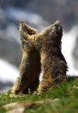 Murmeldjurlekar Fotografering för Bildbyråer