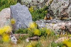Murmeldjursammanträde på en vagga i bergen Arkivfoton