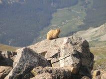 Murmeltier auf Berg Belford Stockfoto