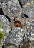 Murmeltier auf den Felsen mit Stroh Stockfoto