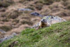 Murmeltier, das auf der Wiese überprüft den Bereich, europäische Alpen sitzt Lizenzfreie Stockfotografie