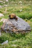 Murmeltier, das auf einem Felsen in den Bergen sitzt Stockbilder