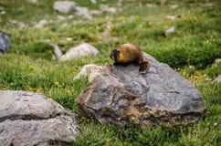 Murmeltier, das auf einem Felsen in den Bergen sitzt Stockfotografie