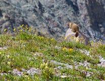Murmeltier, das in gelbe Wildflowers aufpasst Stockfotografie