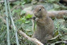 Murmeltier, das Gras isst Lizenzfreies Stockbild