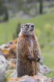 Murmeltier, das oben neugierig schauend steht Stockfoto