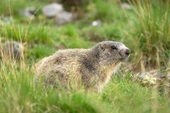 Murmeltier in den Alpen Stockfotografie