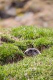 Murmeltier in einem Loch, das den Bereich, europäische Alpen überprüfend schaut Stockfoto