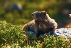 Murmeltier (Marmota caligata) Stockbild